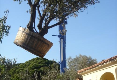 Transport aérien d'un olivier
