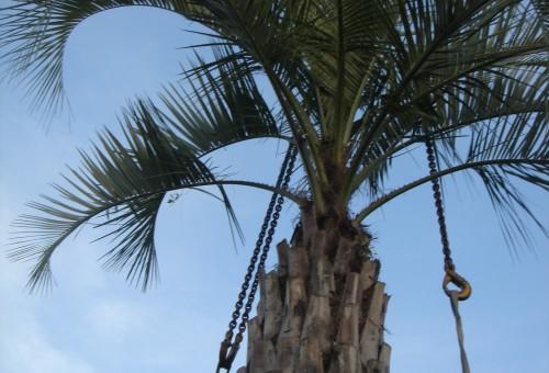 Attache du palmier pour être déplacer avec grue